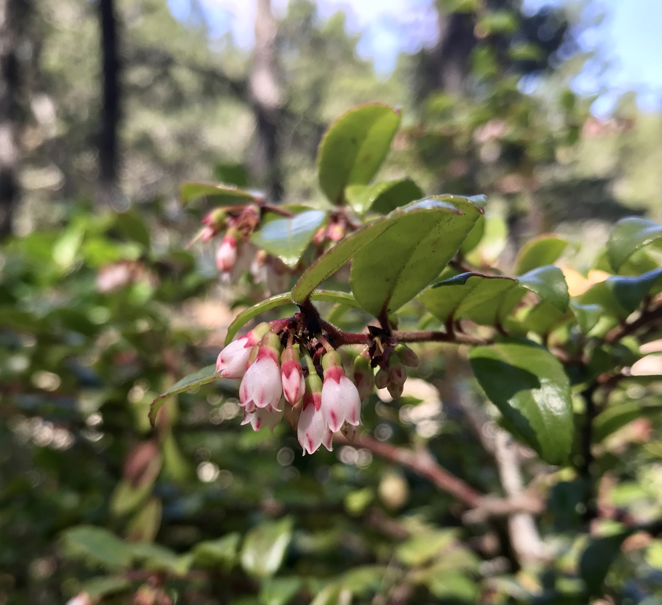 Evergreen huckleberry (2).jpg